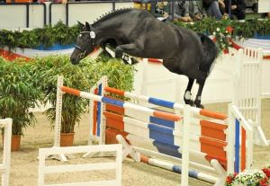 Free-jumping the young stallion, Clarucci C. www.camposstallions.com