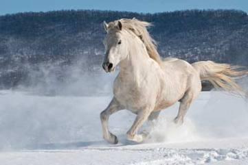 horse-white-snow