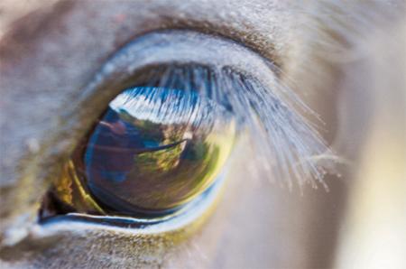 http://veterinarynews.dvm360.com/veterinary-treatment-glaucoma-your-equine-patients