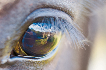 http://veterinarynews.dvm360.com/veterinary-treatment-glaucoma-your-equine-patients