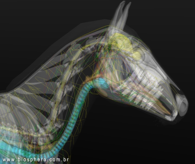 horse-anatomy-head